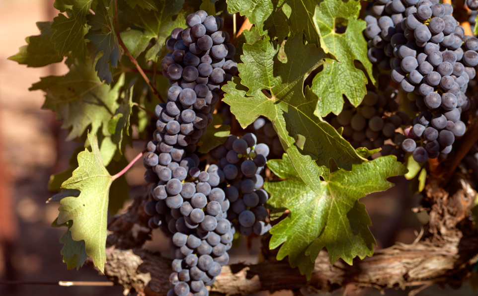 home-grape-cluster
