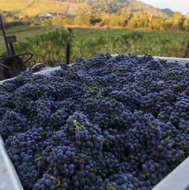 Autimn Vineyard Harvest