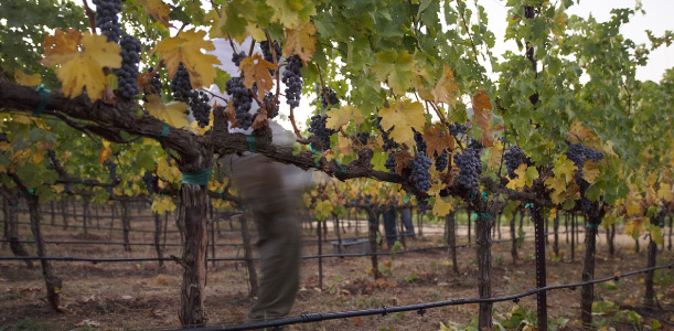 Autumn Vineyard Vine