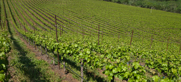 Spring Vineyard