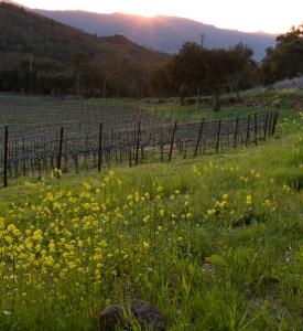 Spring Vineyard Mustard Flowers