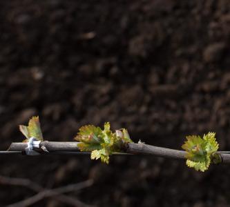 Spring Vineyard Vine