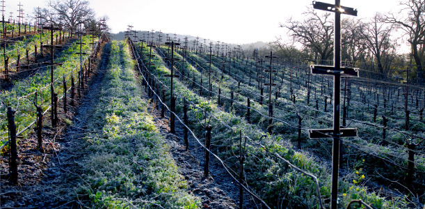 Winter Vineyard Row