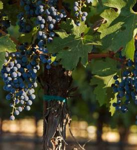 Nancy Andrus Duckhorn Vines