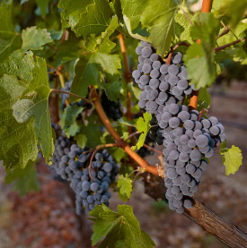 Melanson Grape Cluster