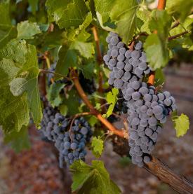 Melanson Grape Cluster